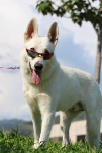 White-Swiss-Shepherd-Breeding-Male-BTWW-Wahlman-August-2018-0033
