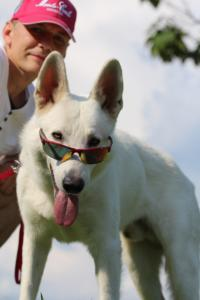 White-Swiss-Shepherd-Breeding-Male-BTWW-Wahlman-August-2018-0038