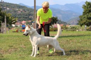 White-Swiss-Shepherd-Breeding-Male-BTWW-Wahlman-August-2018-0292