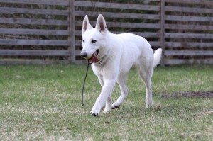 White-Swiss-Shepherd-Dog-Born-to-Win-White-Zorro-April-2015-0007