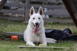 White-Swiss-Shepherd-Dog-Born-to-Win-White-Zorro-April-2015-0008