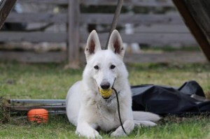 White-Swiss-Shepherd-Dog-Born-to-Win-White-Zorro-April-2015-0010