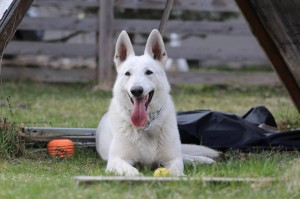 White-Swiss-Shepherd-Dog-Born-to-Win-White-Zorro-April-2015-0012