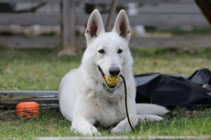 White-Swiss-Shepherd-Dog-Born-to-Win-White-Zorro-April-2015-0013