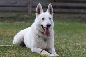 White-Swiss-Shepherd-Dog-Born-to-Win-White-Zorro-April-2015-0015
