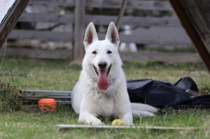White-Swiss-Shepherd-Dog-Born-to-Win-White-Zorro-April-2015-0017