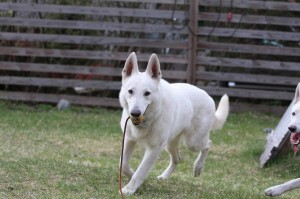 White-Swiss-Shepherd-Dog-Born-to-Win-White-Zorro-April-2015-0018