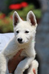 BTWW-White-Swiss-Shepherd-Puppies-June-2018-001
