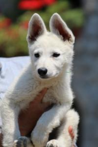 BTWW-White-Swiss-Shepherd-Puppies-June-2018-002
