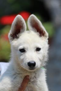 BTWW-White-Swiss-Shepherd-Puppies-June-2018-005